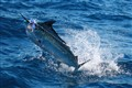 Black Marlin Exmouth Western Australia