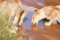 Thirsty Lions