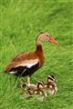 ducks_8183