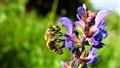 Bee's purple dream