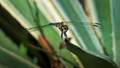 Dragon on Blue Striped Agave