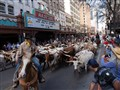 Urban Cattle Drive