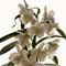 orchid_contrejour-1842