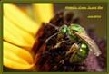 Metallic Green Sweat Bee - July 2012