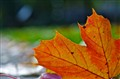 Autumn Leafs - 2