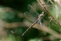 Australian Emerald Dragonfly and a Gasteruptiid Wasp