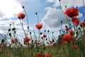 Poppy field against bright summer sun