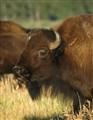 Teton Bison