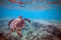 Sea turtle off Hawaii