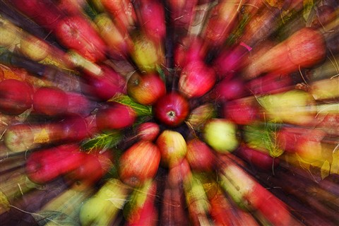 My best picture of week -Autumn Windfall Apples