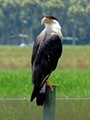 Crested Cara Cara in Myakka Florida. Rare bird,  also known as Mexican Eagle; only about 200 in the state of Florida.