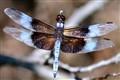 Window Skimmer Dragonfly