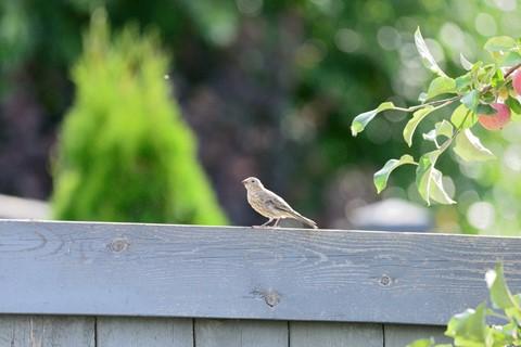Tamron - Juvenile finch 2