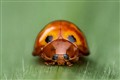 Ladybird Front View