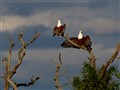 African Fish Eagles drying wings