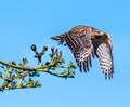 Take off of a juvie red-shouldered hawk