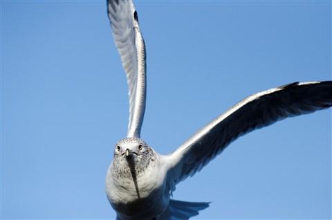 DSC_0775 seagull