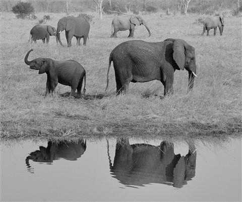 Elephants-2-Botswana