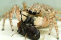 Jumping spider and its prey