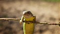 Lizard on a Stick