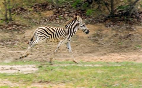 Zebra0809W