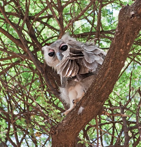 Baby Verreaux's Eagle Owl, Kenya small file