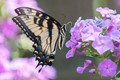 Monarch & Phlox