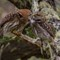 28 Austral Pygmy-Owl 6 Glaucidium nana Chuncho