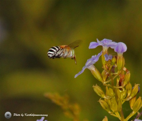Honeybee