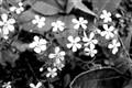 b&w fleurs