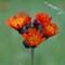 Wild Flower NH