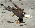 eagle dive