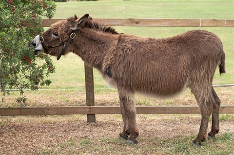 Donkey (Lower Hunter Valley, NSW)