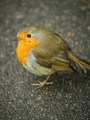 This little robin at the Royal Botanic Garden in Edinburgh was practically tame! I was just taking a photo of a flower when it started hoping around within 3 feet of my... err... feet :-) I had my 100mm F series macro lens fitted at the time which proved to be a nice focal length since it was so close. The wee chap posed for it's portrait like a pro!