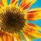 Sunflower ©2013 Derek Dean