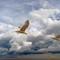 Gliding Gull