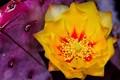 Santa Rita Prickly Pear Flower