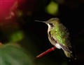A Resting Hummingbird
