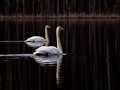 Two swans on a black lake