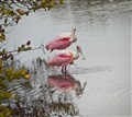 spoonbills (1 of 1)