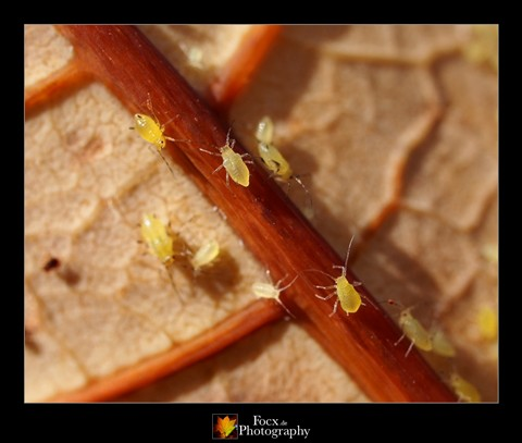 Aphid parade
