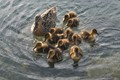 MOTHER LOVE FOR 11 DUCKLINGS