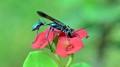 a blue mud dauber wasp...