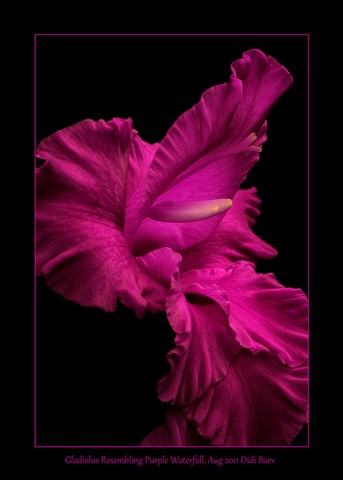 Gladiolus Resembling Purple Waterfall