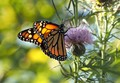 The afternoon sun light provided this Monarch Butterfly to show of its beautiful colors.