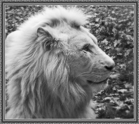 The king of beasts