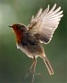 fly, robin fly!