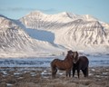 Two icelandic horses loving each other.