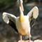 Pelican | David Mohseni