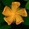 Yellow-Flower-Web